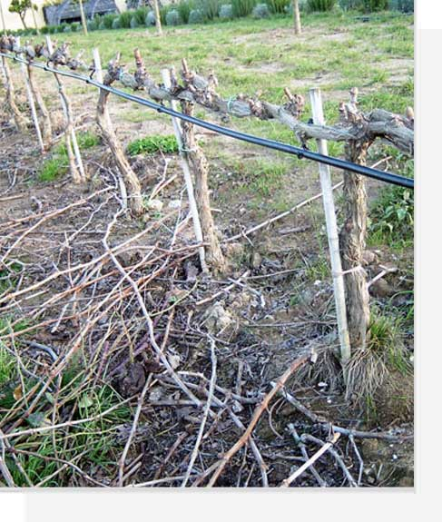 How to grow the vine